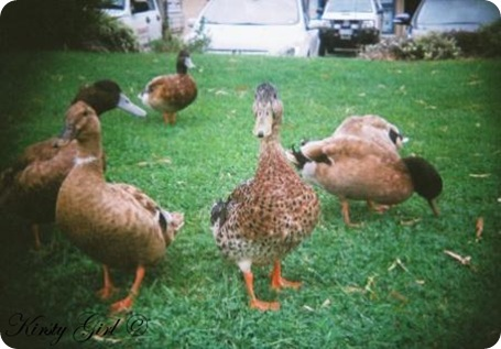 holga-ducks-3