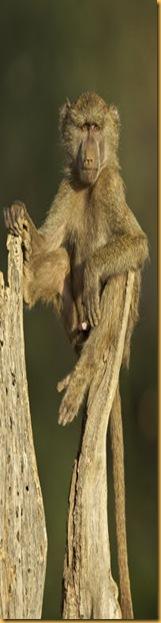 young-male-olive-baboon-samburu-national-reserve-kenya-all2809762