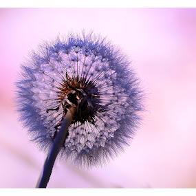Softy by Madhu Payyan Vellatinkara - Flowers Single Flower ( nature, pink, flowers, close ups )