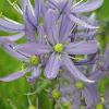 camas lily