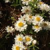New Zealand Strawflower