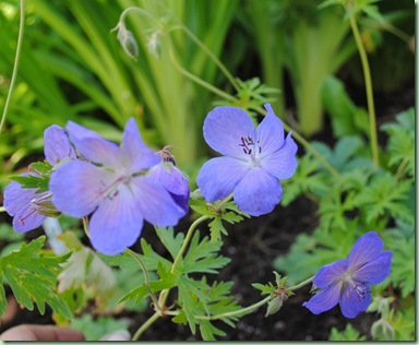 Geranium ' Johnson's Blue'