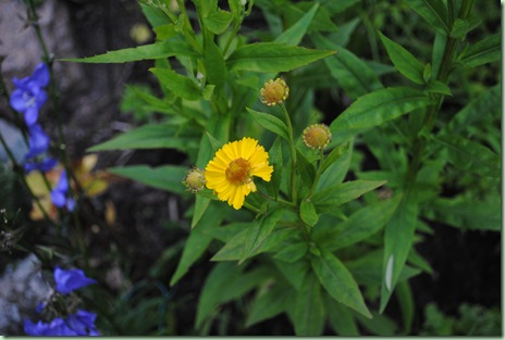 Helenium autumnale 'Early Gold'