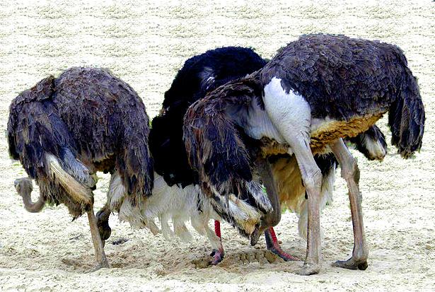 struisvogels, kop in het zand