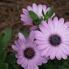 Purple Osteospermum