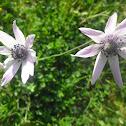 Garden Anemone, vrtna šumarica