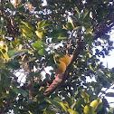 jabong tree