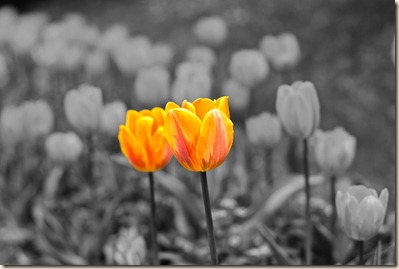 cluj-botanical-garden-tulips-2