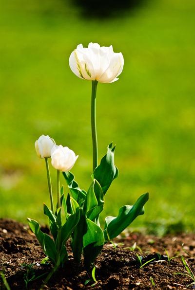 roses-white