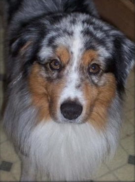 Co-Owned/Bred By - Moonwater Aussies