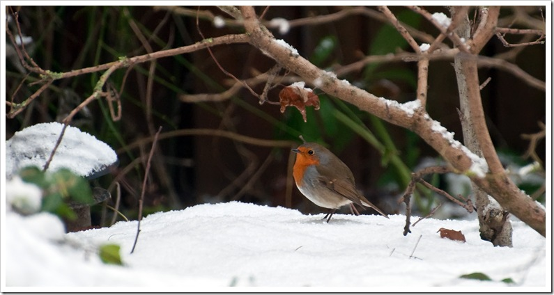 robin in winter garden with snow