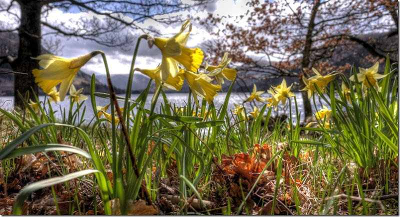 wordsworths daffodils in close-up at ullswater
