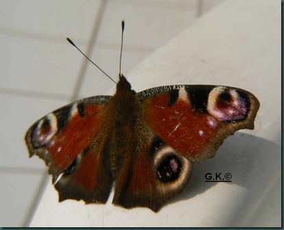 x Schmetterling a