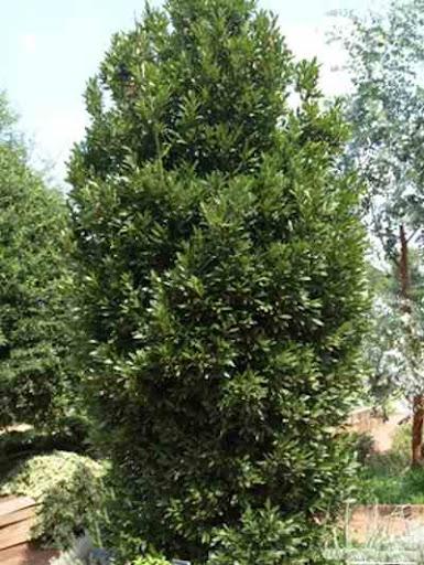 اشجار برية laurus_nobilis.jpg