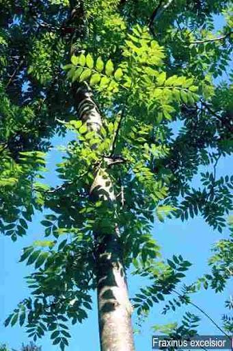 اشجار برية fraxinus_excelsiorO.