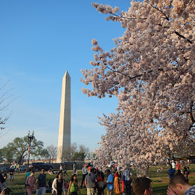 Washington Monument Cherry Blossom Festival by Patrick Jones - Buildings & Architecture Statues & Monuments ( washington monument, d.c., cherry blossom )
