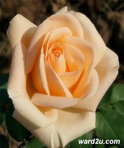 وطن الورود قصيدة جابر الخطاب