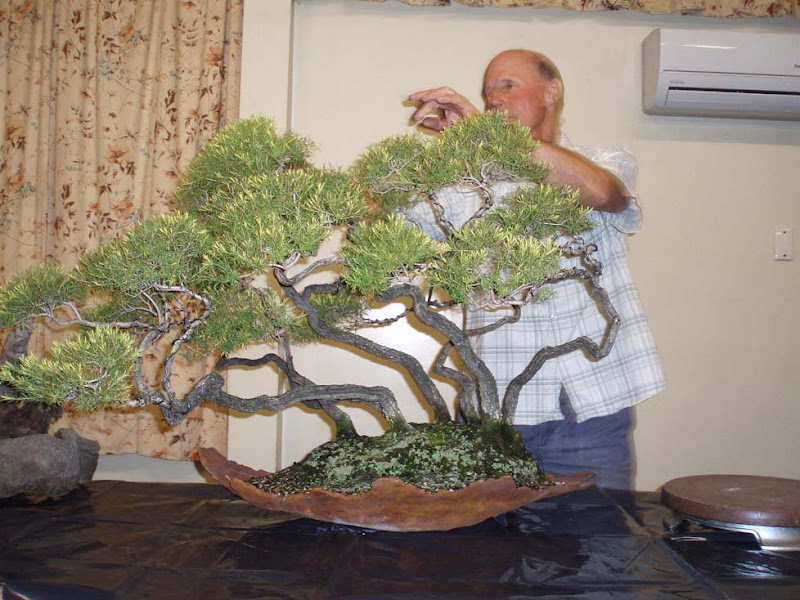 Magnificent Page 20 Bonsai Society Of Victoria Wiring Cloud Oideiuggs Outletorg