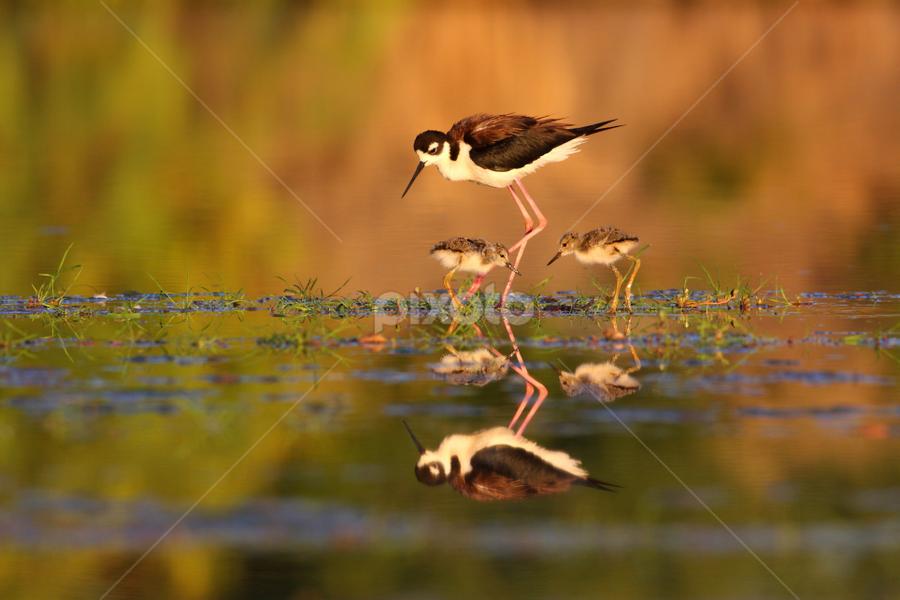 Mom and chicks by Ruth Jolly - Animals Birds ( black-necked-stilt, mom and baby, wildlife, shorebird, cute, birds, birding, bird, stilt, chick, nature, baby bird, animal,  )