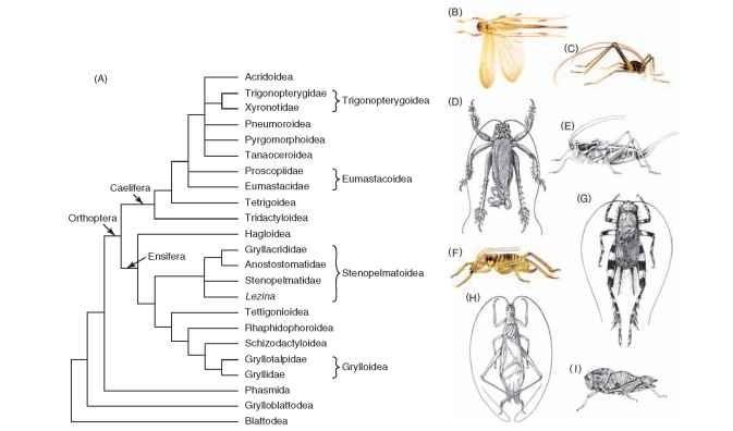 Tanaoceroidea
