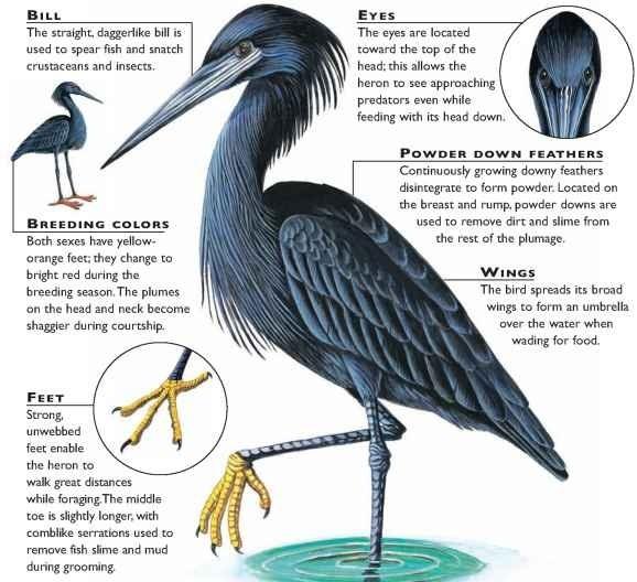 black heron birds