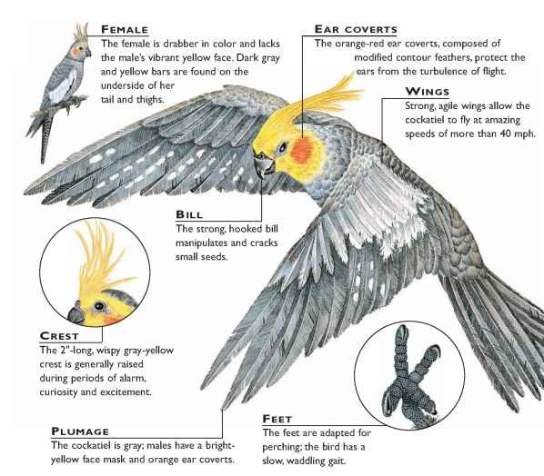 Cockatiel (Birds)