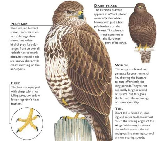 eurasian buzzard birds