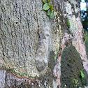 Peanut-head Bug (Machaca)