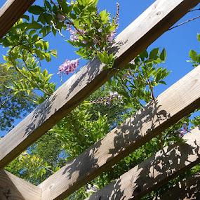 Hanging Wisteria by Patrick Jones - Flowers Flower Gardens ( wisteria, bloom, pergola, spring )