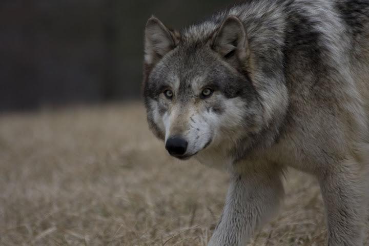 ا هل تعلم بأن الذئب هو الحيوان الوحيد الذى تخشاه