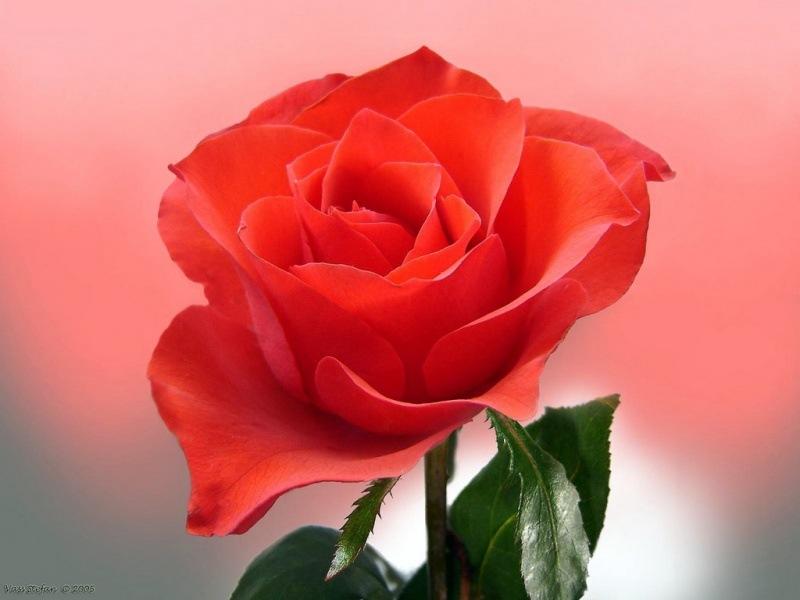 [rosas (14)[2].jpg]