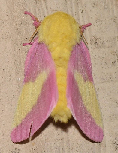 nature in the ozarks arkansas moth rosy maple dryocampa