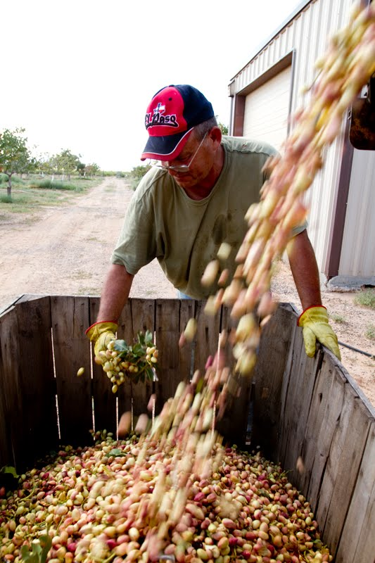 Dana Felthauser's Photo Blog: Pistachio Harvest and ...