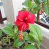 Red Hibiscus.!