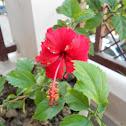 Red Hibiscus.!