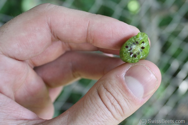 Hardy Kiwi Fruit