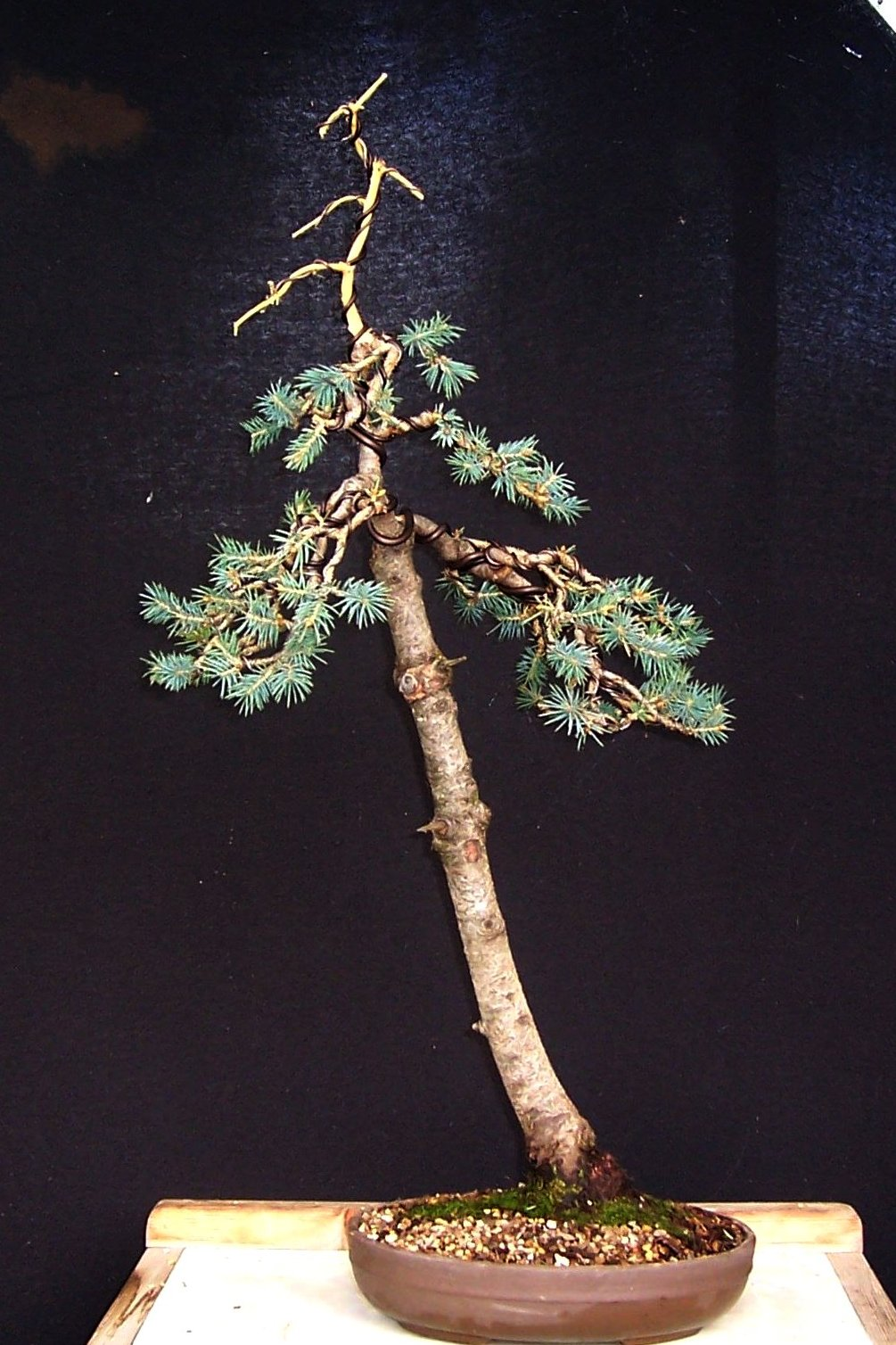 Bonsai Tree 24 Amazing Literati Bonsai Images
