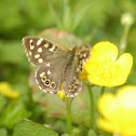 Speckled Wood (sub species)