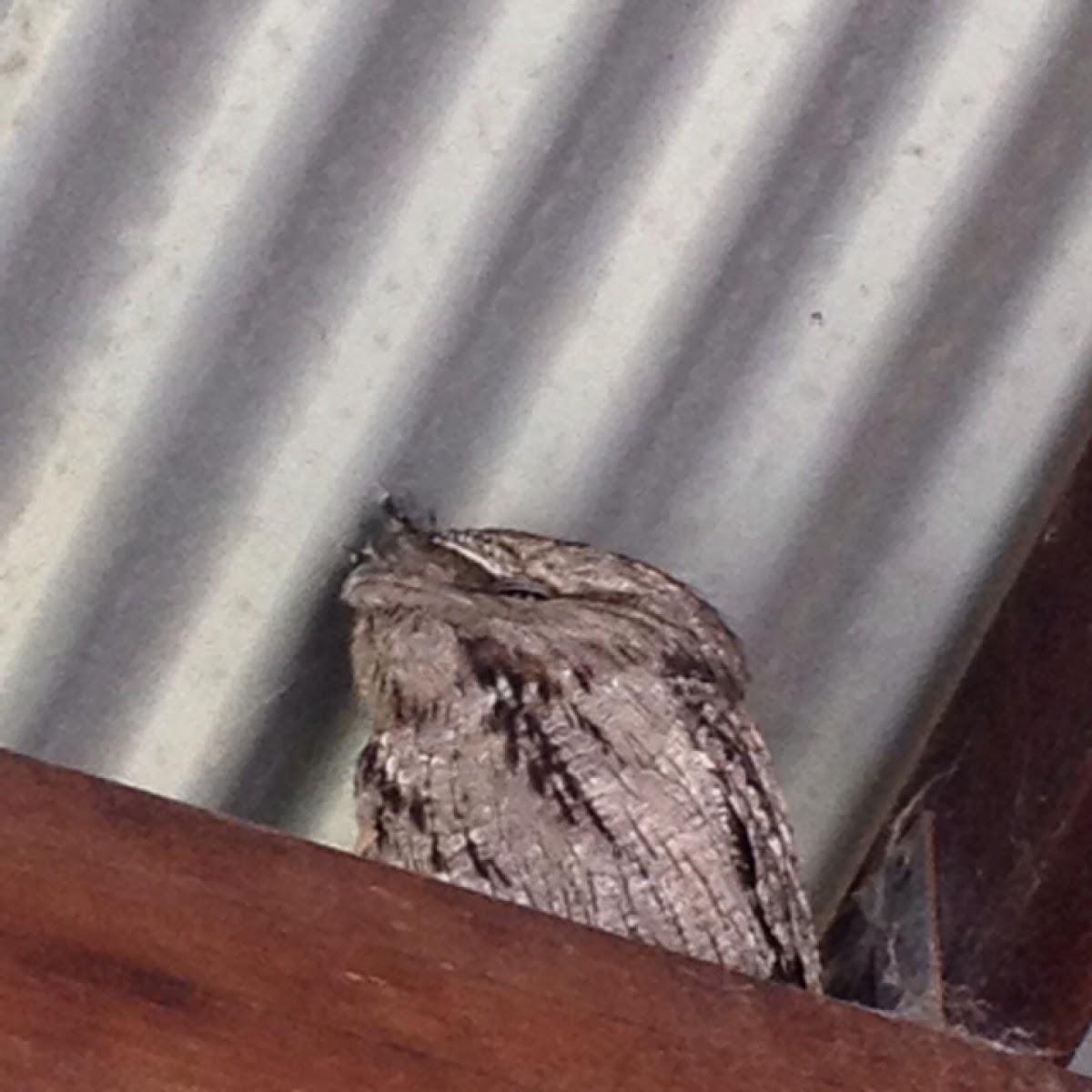 Tawny Frogmouth owl/nightjar