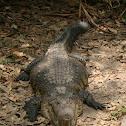 Cocodrilo de Pantano, Morelet's crocodile, Mexican crocodile