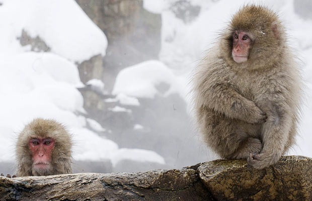 snow-monkeys (16)