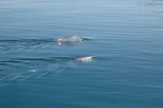 Oarfish : Ikan Terpanjang yang Sering Dikira Ular