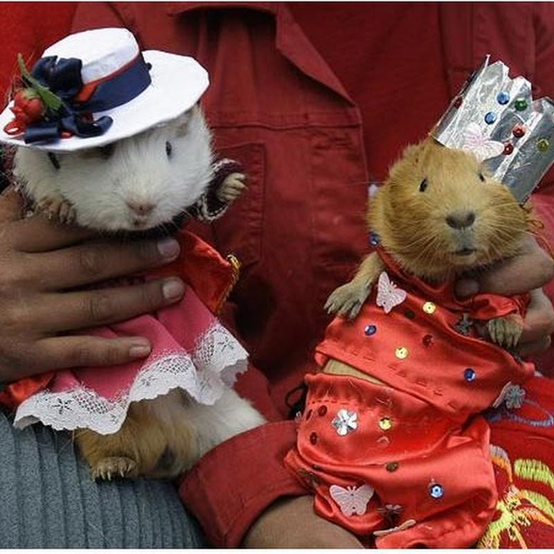 Unexpected Turn of Events at The Guinea Pig Festival
