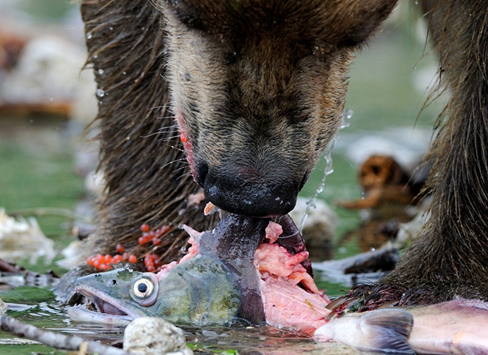 Bear supper/n South Kamchatka Sanctuary<><>South Kamchatka Sanctuary; sockeye; Kamchatka; bear; Kuril Lake; salmon; spawning; roe