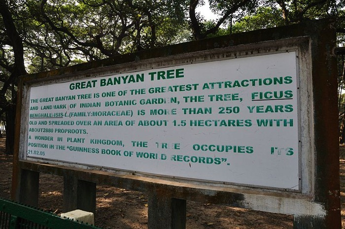 great-banyan-tree4