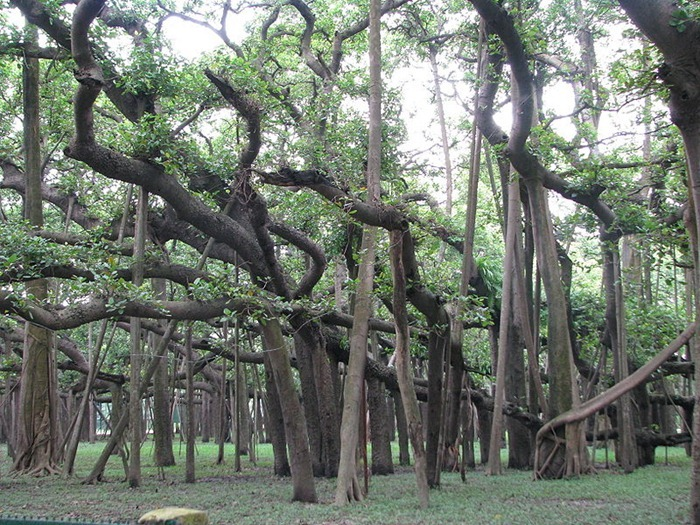 great-banyan-tree1