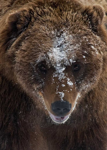 Anchorage-frosty-bear - A bear in winter near Anchorage, Alaska.