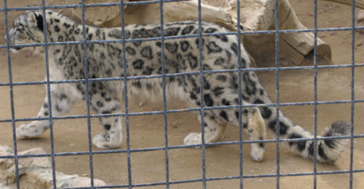 Anny, a Snow Leopard