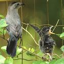 Gray catbird, parents tending fledgling