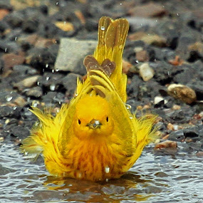 Yellow Warbler Bathing by Steve Shelasky - Animals Birds ( yellow warbler bathing puddle bird nature, warblers,  )